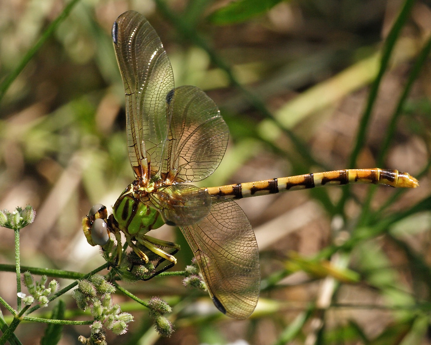 The Eastern Ringtail is distinguished by its green, striped thorax and rust-colored club on its abdomen.