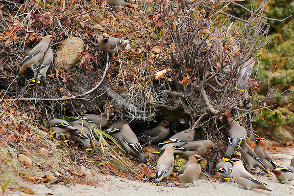 Bohemian Waxwings (Bombycilla garrulus) searching for food along lake shore.  Northern Rockies