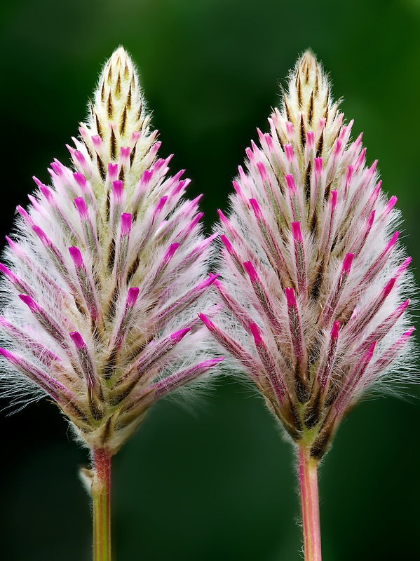 Close up of Pink Mulla Mulla (Ptilotus Joey)