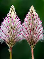 Close up of Pink Mulla Mulla (Ptilotus Joey)