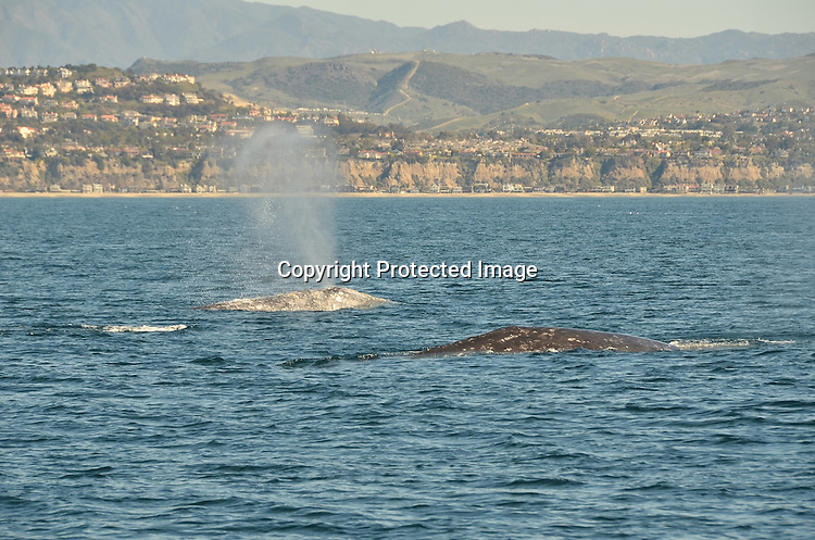 Stock Photo of a Pair of Grey Whales