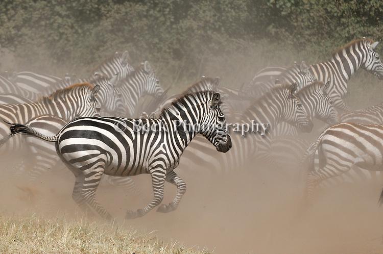 Africa  Serengeti  Zebra