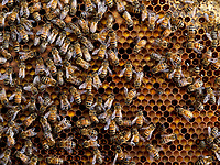 The bees have installed themselves on the colony's reserve of pollen. The cells are full of bee bread, the food for the larvae and the brood.<br /> Les abeilles sont installées sur la réserve de pollen d'une colonie. Les cellules remplies de pain d'abeille, la nourriture des larves et du couvain.