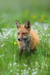 Red Fox in Flowers