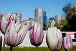 Mauve and white tulips against an urban skyline background, Jericho beach, Vancouver, Canada