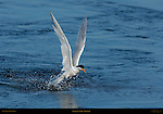 Elegant Tern Takeoff, Bolsa Chica Wildlife Refuge, Southern California
