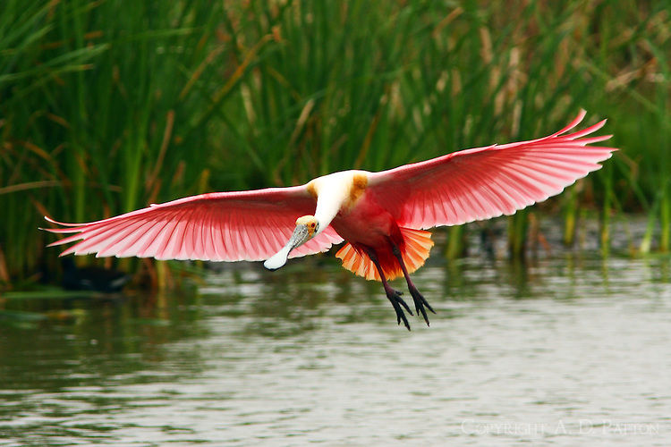 Adult roseate spoonbill flared for landing