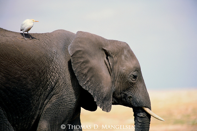 A cattle egret rides on the back of an African elephant in Amboseli National Park, Kenya.
