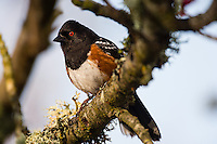 Male Spotted Towhee (Pipilo maculatus).  Pacific Northwest, spring.
