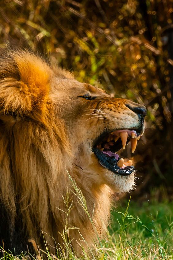 A male lion bares it's teeth, Lion Park, near Johannesburg, South Africa.