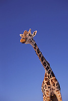 Masai Giraffe (Giraffa camelopardalis tippelskrichi) found in Kenya and Tanzania. The tallest land mammal in the world.