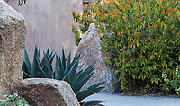 Shark Skin Agave among rocks by path with Justicia spicigera in Living Desert Garden, Palm Springs, California.
