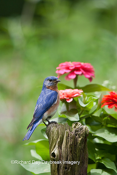 01377-17317 Eastern Bluebird (Sialia sialis) male on fence post near flower garden,  Marion Co., IL