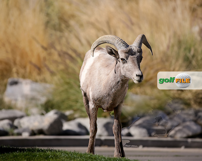 16 DEC 13 A herd of docile Big Horn Sheep enjoying Thursday's First Round of The Humana Challenge at PGA WEST in La Quinta, California. (photo:  kenneth e.dennis / kendennisphoto.com) www.golffile.ie