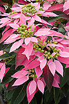 Dulce Rosa Euphorbia hybrid