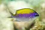 Chromis insolata, Sunshinefish, juvenile, Florida Keys