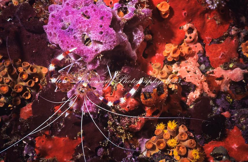 Banded Coral Shrimp (Stenopus hispidus)<br /> U.S. Virgin Islands