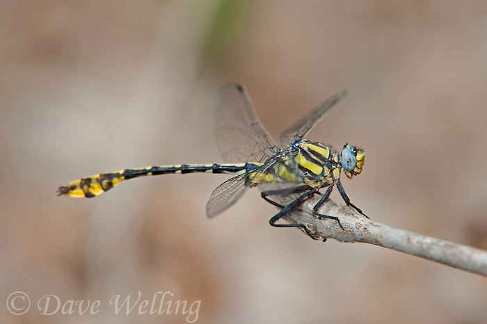334250011 a wild male tamaulipan clubtail dragonfly gomphus gonzalezi perches on a dead stick near the naba site along the rio grande river hidalgo county texas united states