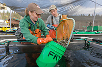Technicians Renee Pszyk and Henry Hastings at the Gulkana hatchery load salmon fry to be transferred to the crop duster airplane which will drop them in a nearby lake.