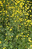 Scharfer Hahnenfuß, Scharfer Hahnenfuss, Ranunculus acris, Synonym: Ranunculus acer, meadow buttercup, tall buttercup, giant buttercup