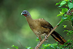 Rufous vented Chachalaca or Cocrico, Ortalis ruficauda,  national bird of Tobago, perched in bush.Trinidad....