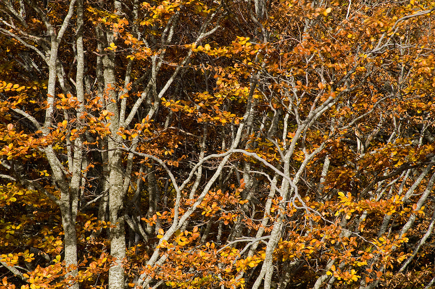 Greece, Pindos Mountains, Pindos NP, Valia Calda, Beech trees in autumn colors in Valia Calda