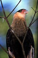"""O Caracará, é uma das espécies mais comuns e populares do Brasil. Conhecido também como Carancho (Sul do Brasil), carcará e caracaraí (na Ilha de Marajó) além de gavião-de-queimada, etc. Embora seja parecido com uma águia ou algum tipo de urubu o caracará na verdade é um parente distante dos falcões, pertencendo a mesma família deles, os falconídeos (Antas, 2005; Sick 1997). Medindo cerca de 56 cm da cabeça a cauda e 123 cm de envergadura, o caracará é facilmente reconhecível tanto em vôo quanto pousado. Possui plumagem na parte superior preta e o peito é uma combinação de marrom claro com riscas pretas rajadas; patas compridas e de cor amarela; em voo, assemelha-se a um urubu, mas é reconhecível por duas manchas de cor clara na ponta das asas. Além disso, como principal caracteristica possui cabeça clara com um tipo de penacho negro na cabeça em forma de """"topete"""", a pele nua em volta da narina é, geralmente, vermelha ou carmim. No entanto, a ave pode, em questão de segundos, mudar para amarelo. Provavelmente, essa mudança ocorre com aumento ou redução da quantidade de sangue circulando na superfície, com essa variação atendendo ao estado emocional do momento. A ave juvenil diferencia-se pelo peito sem o padrão de listras e o branco do peito e cabeça. Essas áreas são claras, com riscas longitudinais mais escuras, além do corpo ser cinza escuro, quase negro (Antas, 2005; Sick 1997).<br /> Carajás, Pará, Brasil.<br /> Foto Paulo Santos Parque Zoobotânico Vale em Carajás"""