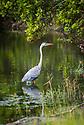 April 19 thru 21 2016 / Jupiter Florida and vicenity / Great Blue Heron / Photo by Bob Laramie
