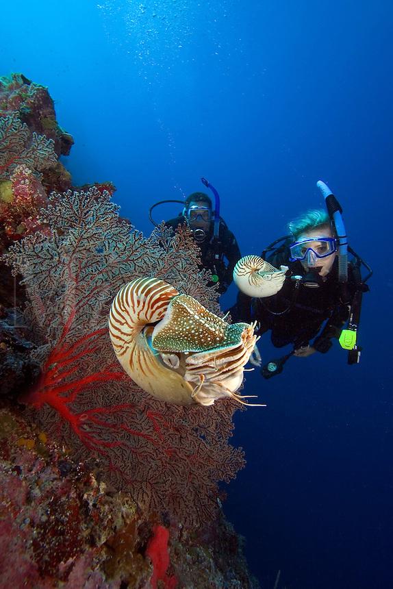 Chambered nautilus, Nautilus pompilius, and divers (MR).  Palau, Micronesia.