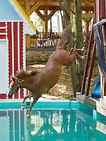 lightning, the diving horse