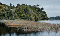 Reeds and native forest at Lake Mahinapua, West Coast, South Westland, South Island, New Zealand, NZ