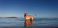 Lucky We Live Hawai'i: At sunrise, poi dog Isabella pauses in the waters of Maunalua Bay, with Koko Head and Portlock on the left, East O'ahu.