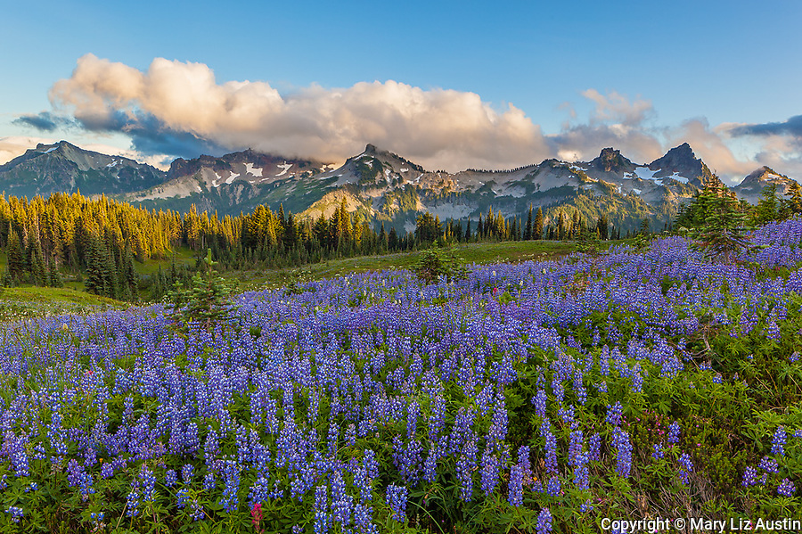 Mount Rainier National Park, WA: Lupine meadow (Lupinus latifolius) with evening clouds over the Tatoosh Range
