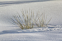 Yucca plants in the sand dunes at White Sands National Monument in New Mexico.