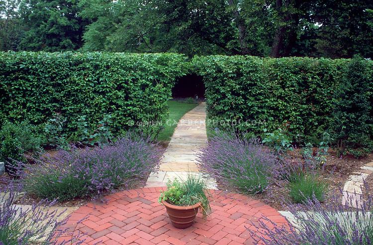 Lavandula angustifolia lavender herbs growing against green hedge on brick patio, in circle design