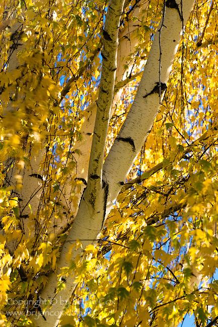 Birch tree, fall