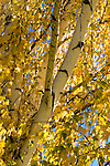 Birch tree, fall