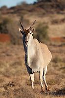 Common Eland (Taurotragus oryx), Karoo National Park, South Africa.