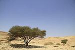 Israel, Negev, Acacia tree in Lower Wadi Tzafit
