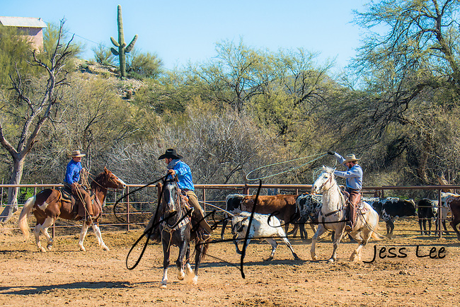 Roping Long horn cattle in Arizona. Cowboys and Cowgirls working and Playing in Arizona. Arizona Cowboys