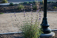 A flowering sage plant sits next to a light pole in front of a decomposed granite pathway at State Street Park.