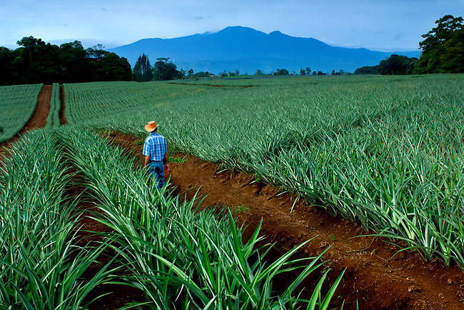 Pineapple farmer looks over rows of pineapple plants.  The very active Poas Volcano looms in the background.  Costa Rica is one of the worlds largest exporters of pineapples.