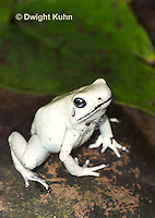 FR24-538z   Golden Poison Dart Frog - Mint Morph,.Phyllobates terribilis, South America