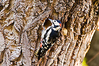 Great Spotted Woodpecker makes nesting hole in Poplar tree , Hampstead, London, United Kingdom