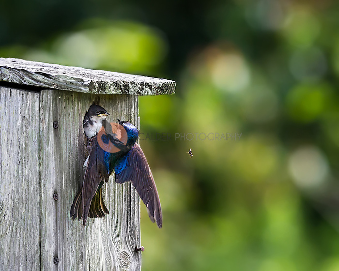 Adult Tree Swallow attempting to feed nestling at nest box, insect is dropping from adult's beak