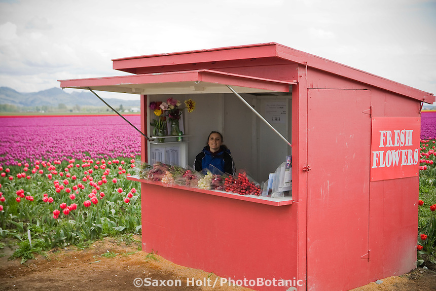 Flower stand seeling bunches of fresh cut tulips at Tulip Festival, Skagit Valley Washington
