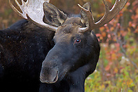 Bull  Moose portrait, fall colors,  Grand Teton Natonal Park