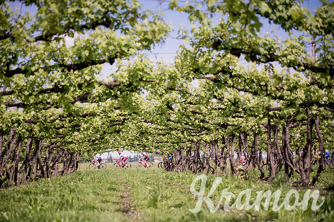 peloton passing 1 of many vineyards<br /> <br /> Stage 11: Carpi to Novi Ligure (221km)<br /> 102nd Giro d'Italia 2019<br /> <br /> ©kramon