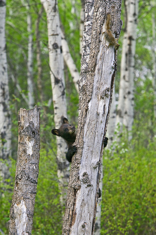 Black Bear cub chasing a squirrel up a tree