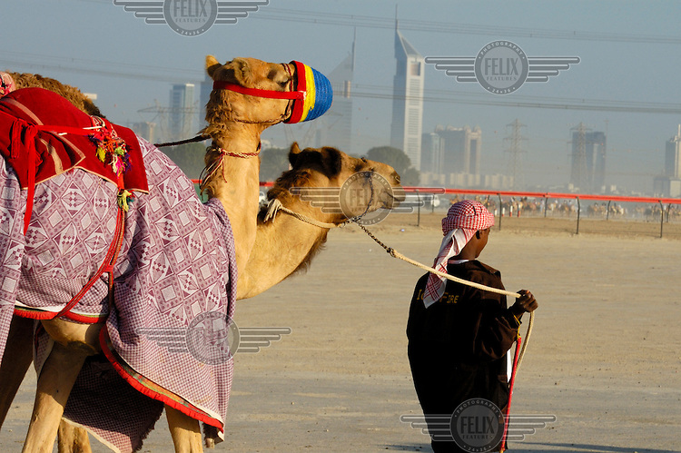 Taking racing camels to a racetrack for a training session, with city skyscrapers rising out of the desert behind.